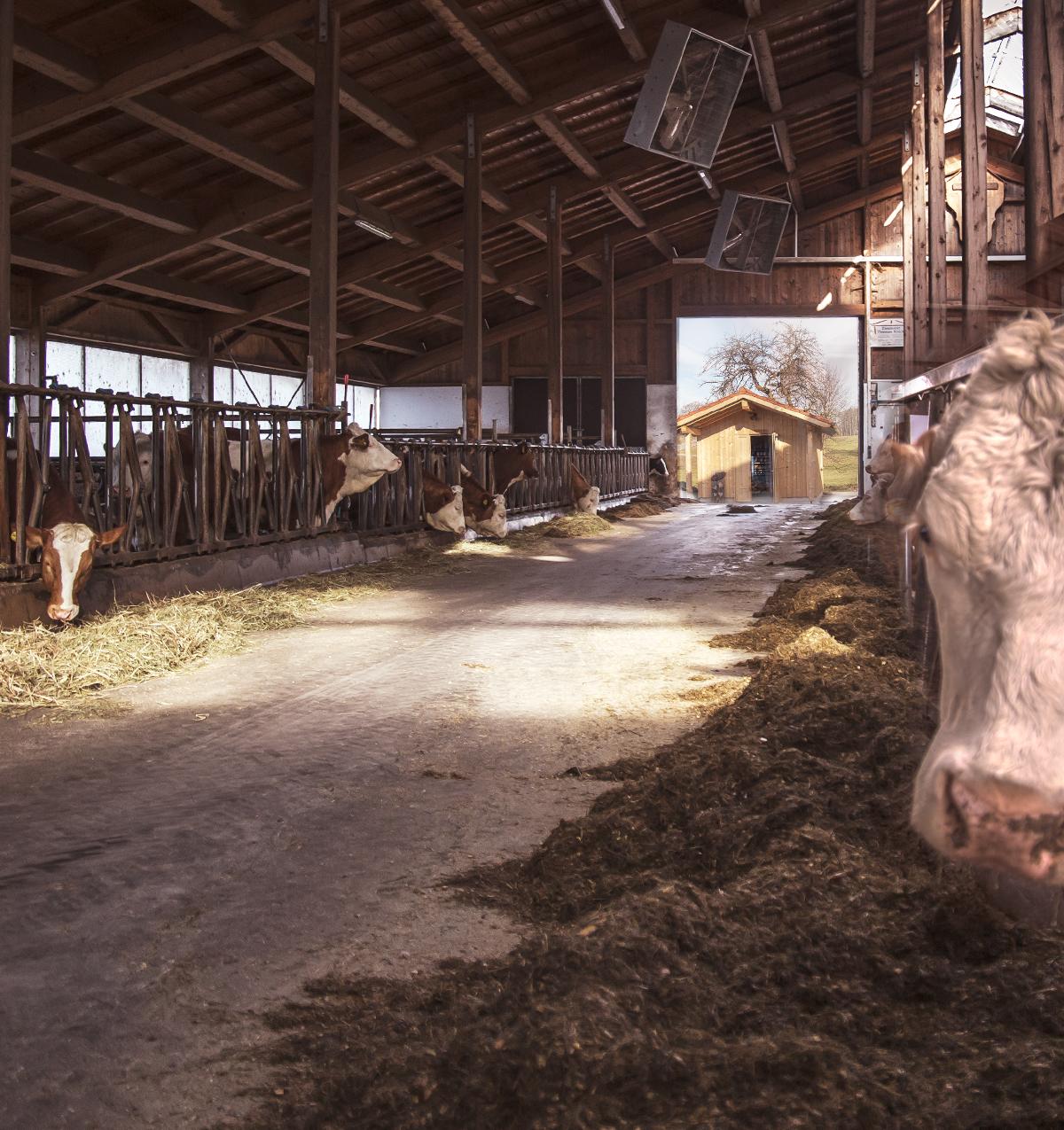 Kühe vom Dopferhof